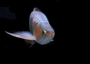 ปลามังกร ปลาแห่งโชคลาภ เสริมดวง เสริมฮวงจุ้ย